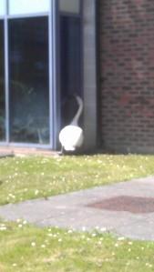 Swan burglary