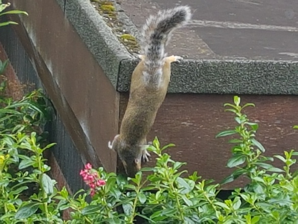 Squirrell [4]