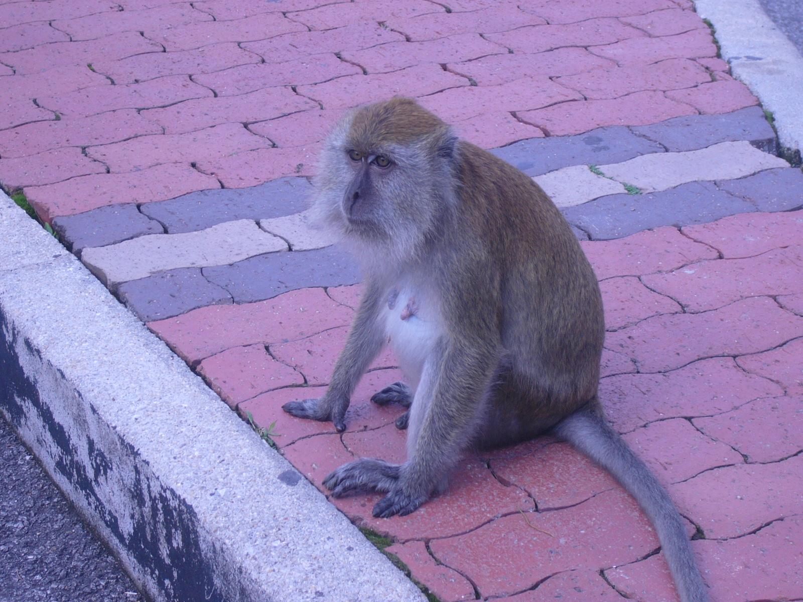 Monkey at Penang Hill
